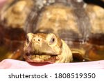 Sulcata African Spurred...