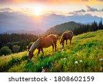 Wild Horses Like Mustangs Graze ...