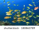 Shoal Yellow Snappers Fish In...