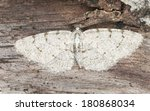 Small photo of Grey birch, Aethalura punctulata on wood