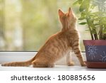 Stock photo small orange kitten lays on the window sill and look in the window 180885656