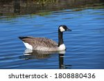 Brown Black Duck Swimming...