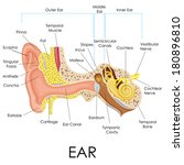 vector illustration of human ear anatomy
