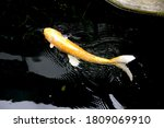 Orange Ogon Koi  Fish Or Yellow ...