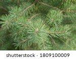 Beautiful Young Green Pine...