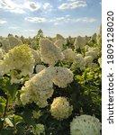 Wonderful Blooming White...
