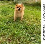 Photos Of A Pomeranian Dog Of...