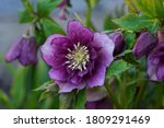 Hellebore Evergreen Perennial...