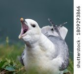 Small photo of Fulmar with its Beak Wide Open