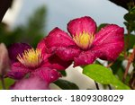 Two Crimson Flowers Of Clematis ...