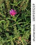 Pink Succulent Mesembryanthemum ...