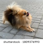 Photos Of A Pomeranian Dog Of ...