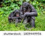 Adult And Young Male Bonobos I...