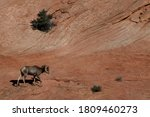 Desert Bighorn Sheep On Rocky...