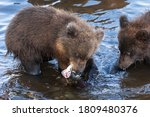 Brown Bear Cub Fishing Red...