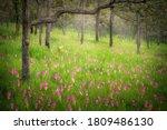 Siam Tulip Field  Dok Krachiew...
