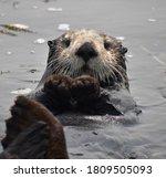 A Sea Otter  Enhydra Lutris ...