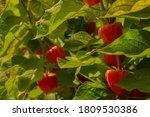 Beautiful Berries Of Ripe...