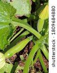 Squash Plant With Tiny Squash ...