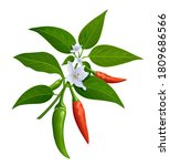 thai paprika red and green...   Shutterstock .eps vector #1809686566
