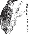 Brown Creeper  From The...