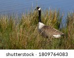 Side View Of A Canada Goose....