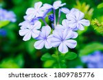 Closeup Nature Blue Verbena...
