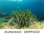 Underwater Seagrass Background