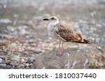 Female Seagull Resting Over A...