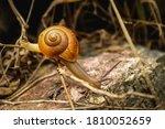 Snail   Close Up Macro Snail O...