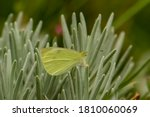 A Pale Clouded Yellow Butterfl...