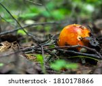 Russula Mushroom In The Forest...