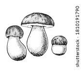 vector drawing of boletus... | Shutterstock .eps vector #1810191790