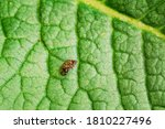 Small photo of Dermacentor Reticulatus On Green Leaf. Also Known As The Ornate Cow Tick, Ornate Dog Tick, Meadow Tick, And Marsh Tick. Family Ixodidae. Ticks Are Carriers Of Dangerous Diseases.