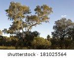 large eucalyptus trees | Shutterstock . vector #181025564