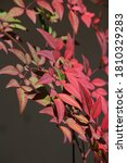 Red Holy Bamboo Leaves In...