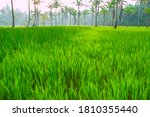 Beautiful Rice Field View At...