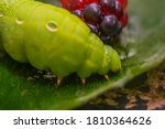 Large Green Caterpillar With...