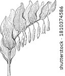 Fritillaria Meleagris  From The ...