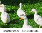 White And Wet Ducks Walking On...