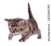 Stock photo small scottish kitten isolated on white background 181044290