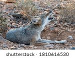 Small photo of Coyote Howling while curled up in a Wallow