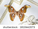 The Largest Butterfly Attacus...