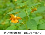 Jewelweed Blooming At The Edge...