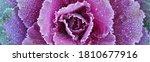 Morning Hoar Frost On Purple...