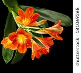Orange Color Flowers Of Lily O...