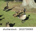 Canadian Geese And Ducks On Th...
