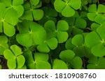 Water Clover.natural Plant...