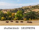 A Herd Of American Buffalo...