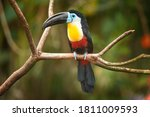 Channel billed toucan ...